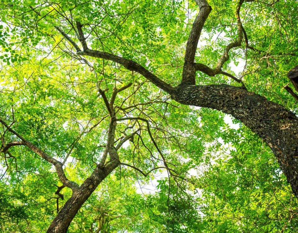 Photo en contre-plongée représentant les troncs et feuilles d'arbres.